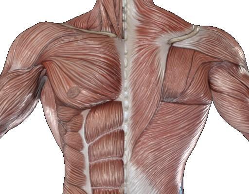 肩甲下筋(けんこうかきん)